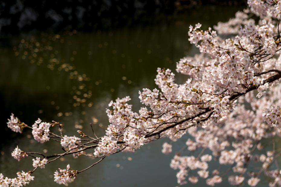 2015.04.23弘前さくらまつり19