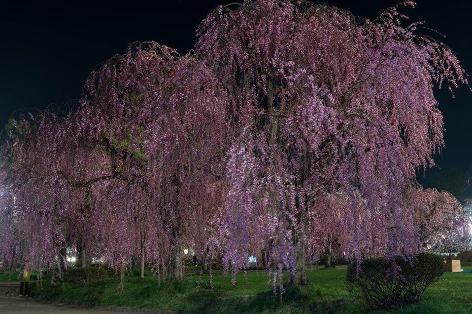 2015.04.23弘前さくらまつり夜6