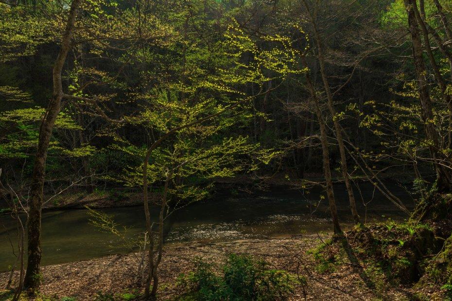 2015.04.29奥入瀬渓流の新緑10