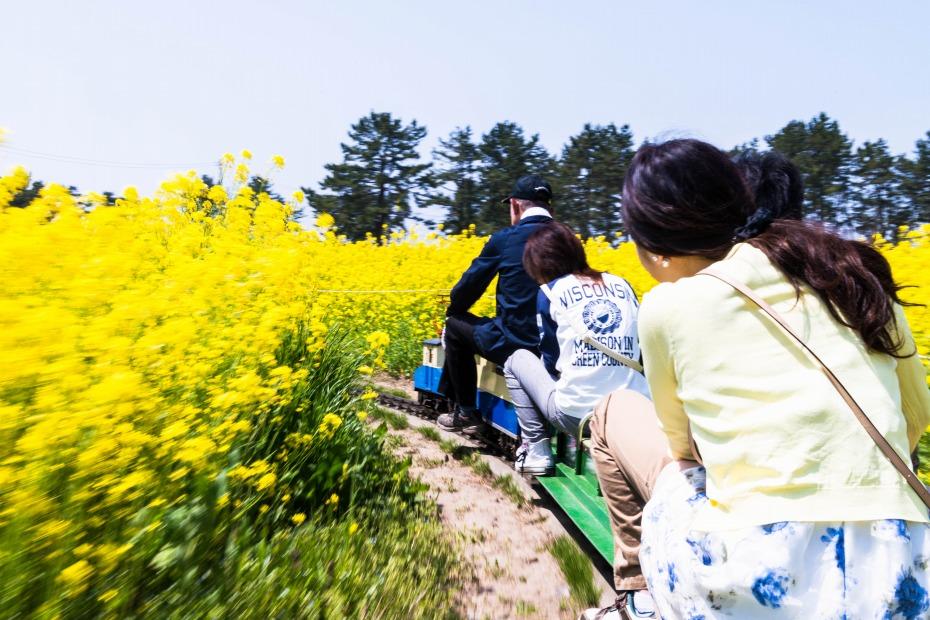 2015.04.30八郎潟の菜の花10