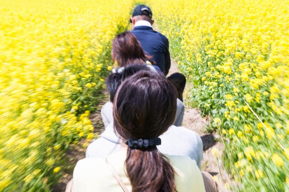 2015.04.30八郎潟の菜の花9
