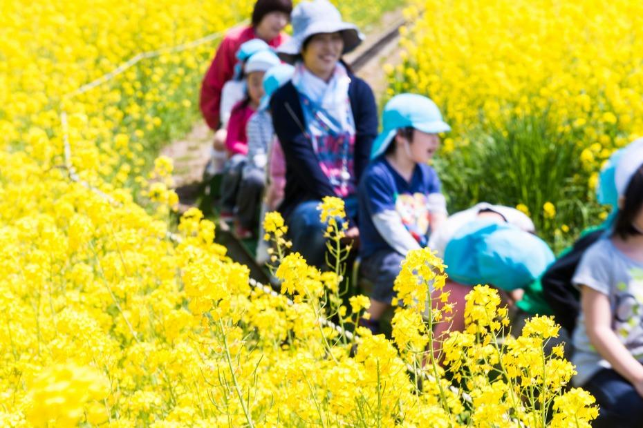 2015.04.30八郎潟の菜の花5