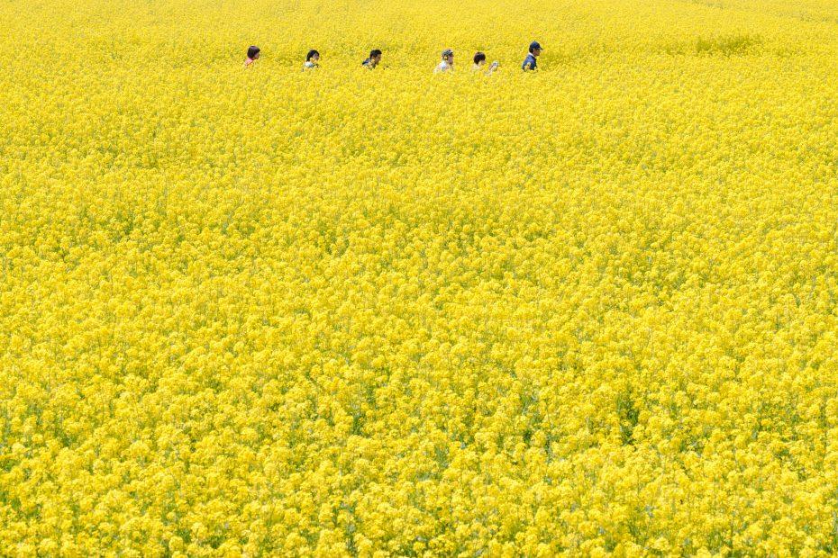 2015.04.30八郎潟の菜の花3