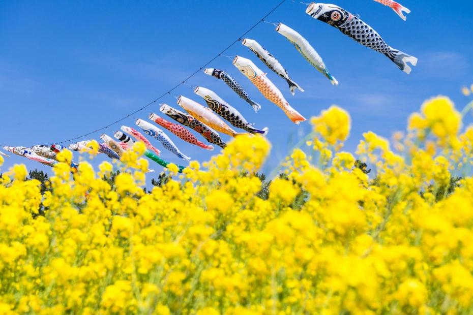 2015.04.30八郎潟の菜の花1