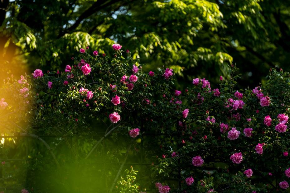 2015.05.11金沢南運動総合公園のバラ3