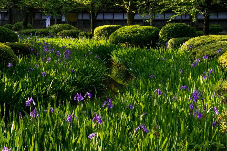 2015.05.17曲水に咲くカキツバタ6