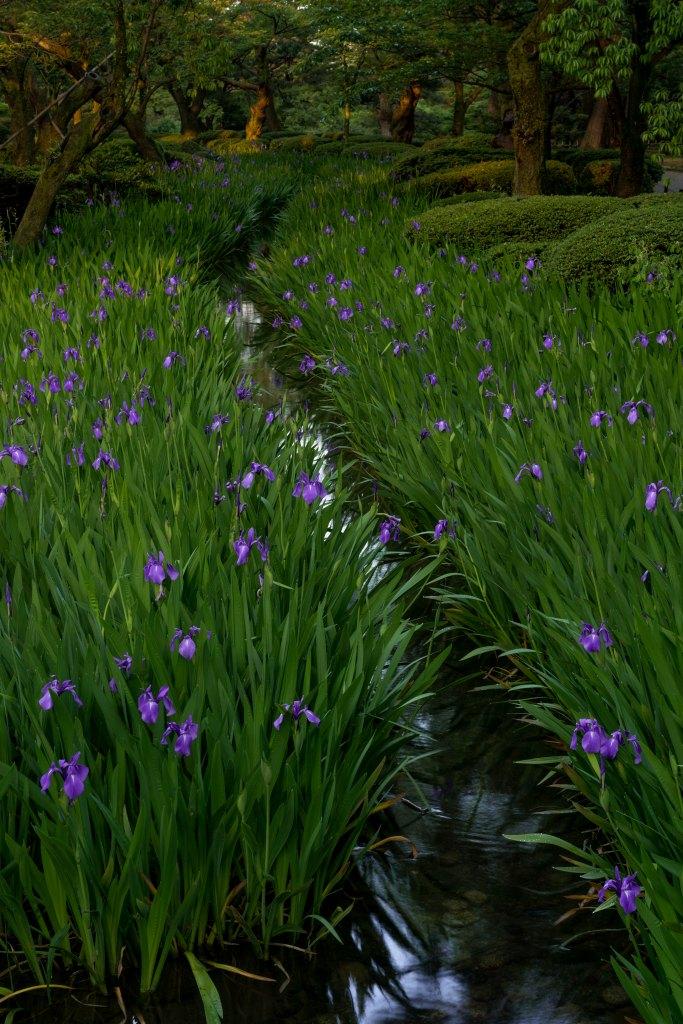 2015.05.17曲水に咲くカキツバタ2