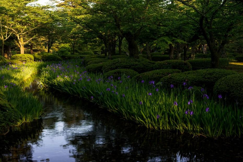 2015.05.17曲水に咲くカキツバタ3