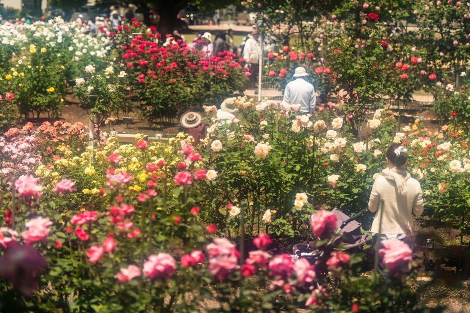 2015.05.21金沢南総合運動公園のバラ6