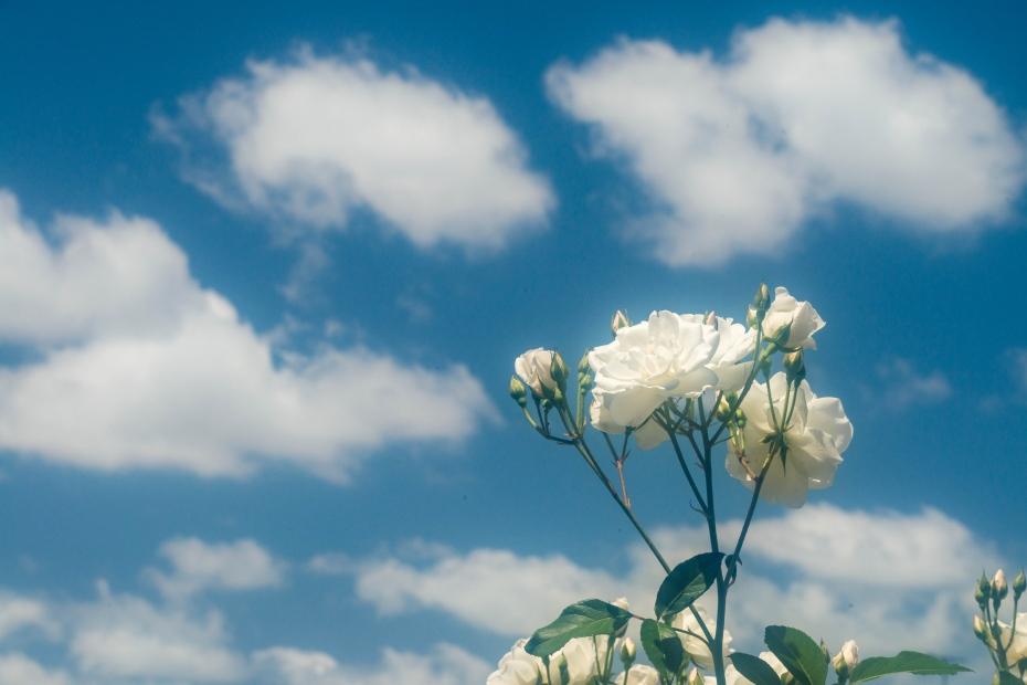 2015.05.21金沢南総合運動公園のバラ1