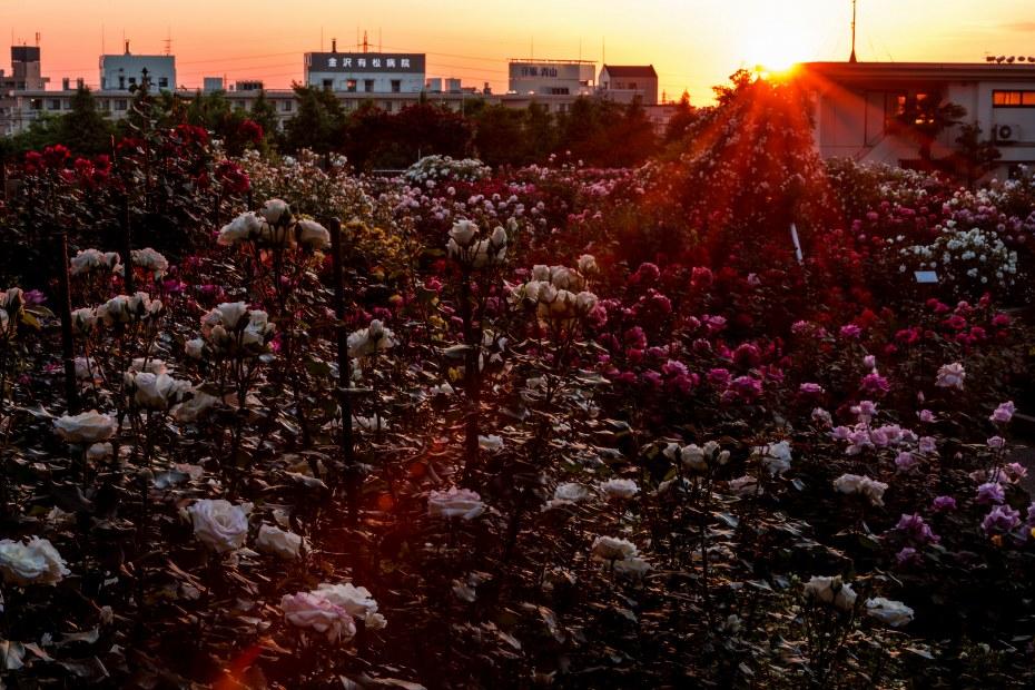 2015.05.21金沢南総合運動公園バラ園の夕焼け1.1845
