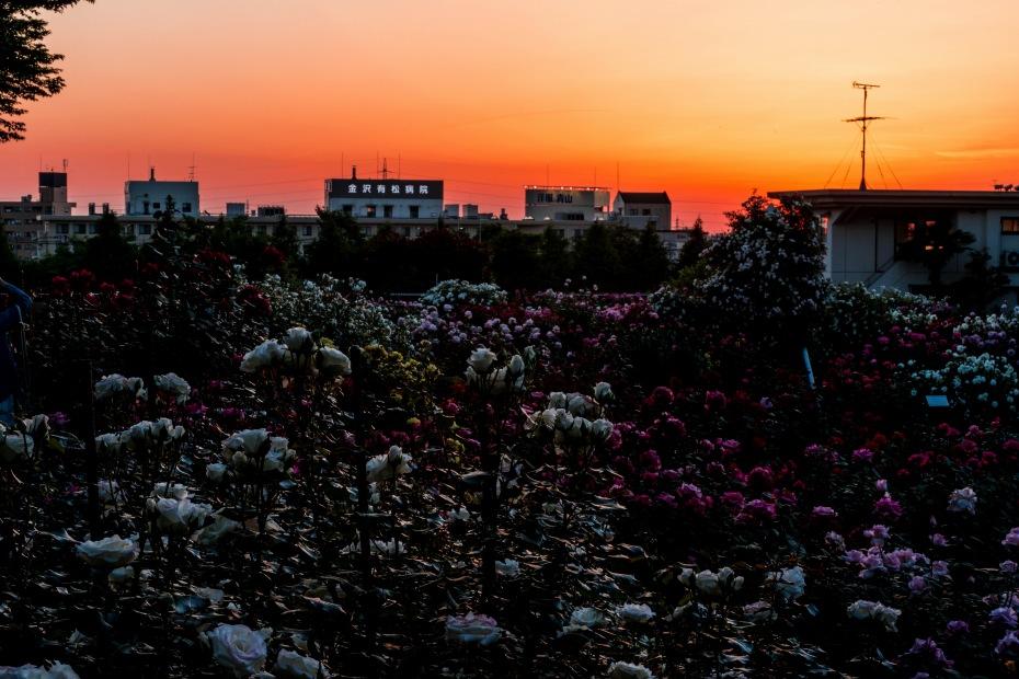 2015.05.21金沢南総合運動公園バラ園の夕焼け2.1852