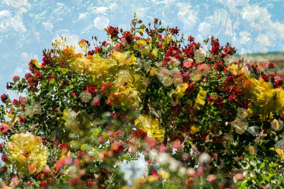 2015.05.21金沢南総合運動公園のバラと日傘7