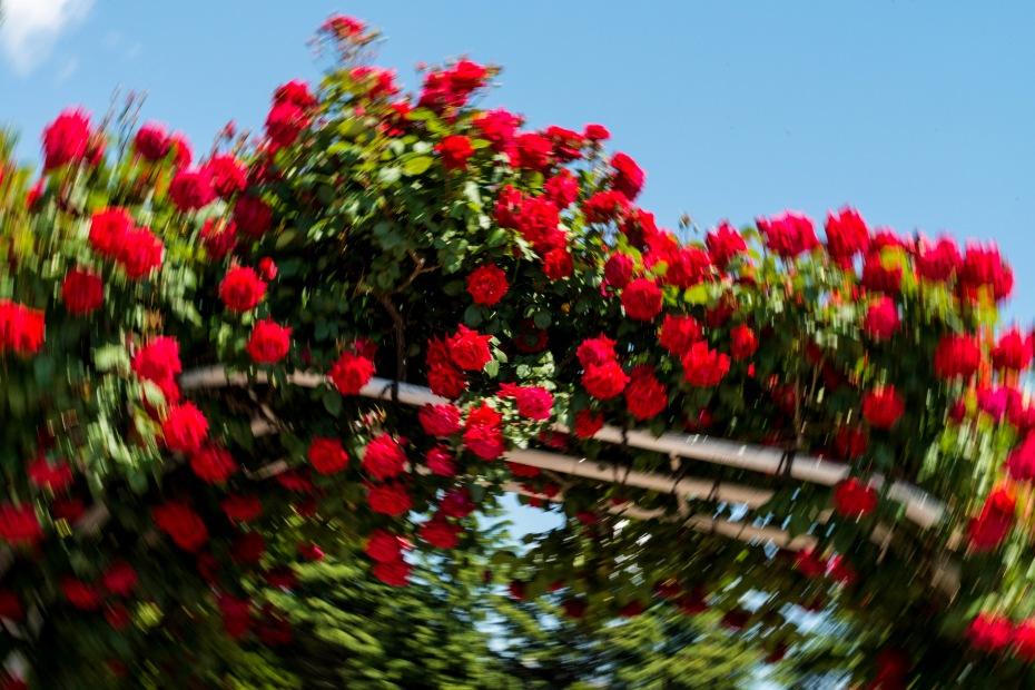 2015.05.21金沢南総合運動公園のバラと日傘6
