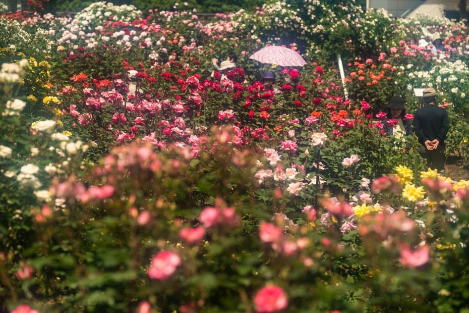 2015.05.21金沢南総合運動公園のバラと日傘4