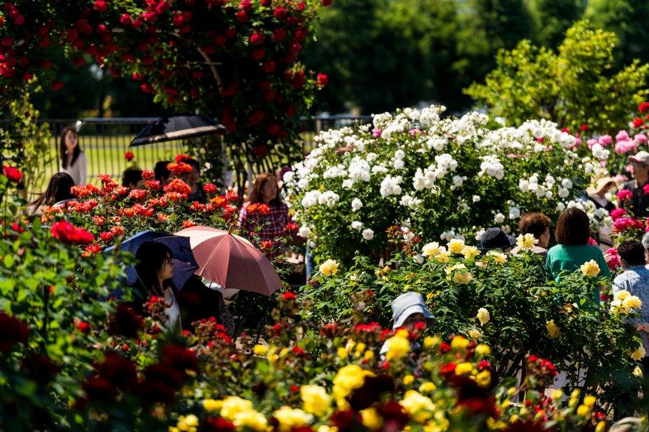 2015.05.21金沢南総合運動公園のバラと日傘5