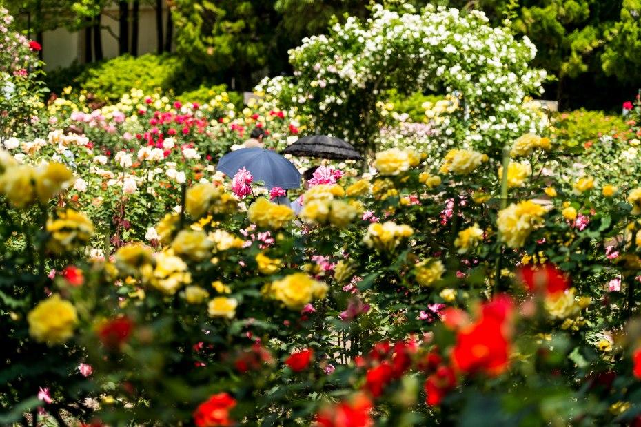 2015.05.21金沢南総合運動公園のバラと日傘2