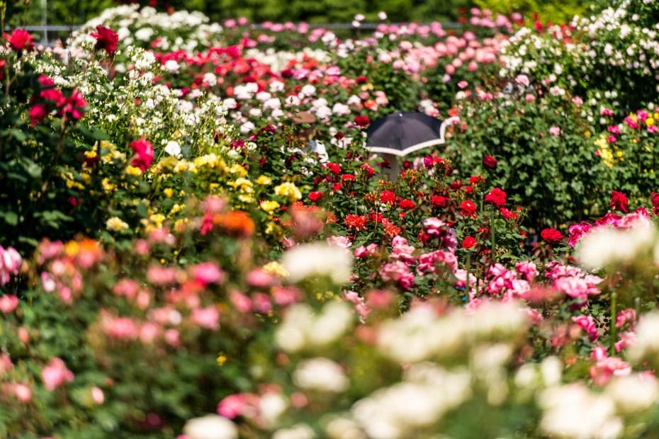 2015.05.21金沢南総合運動公園のバラと日傘3