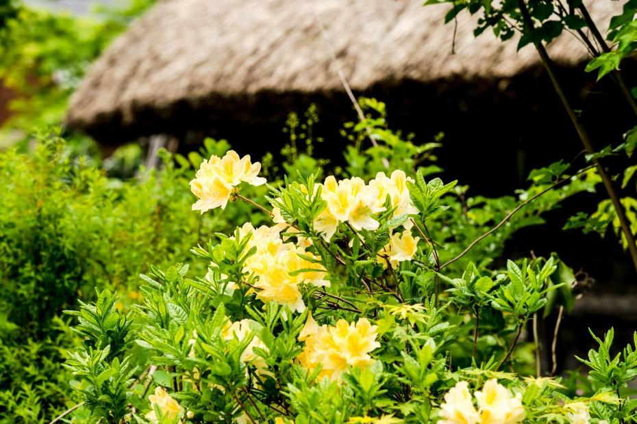 2015.05.25白川郷の田植え時期10