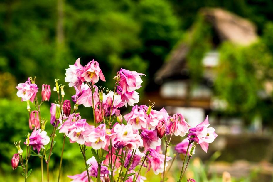 2015.05.25白川郷の田植え時期6