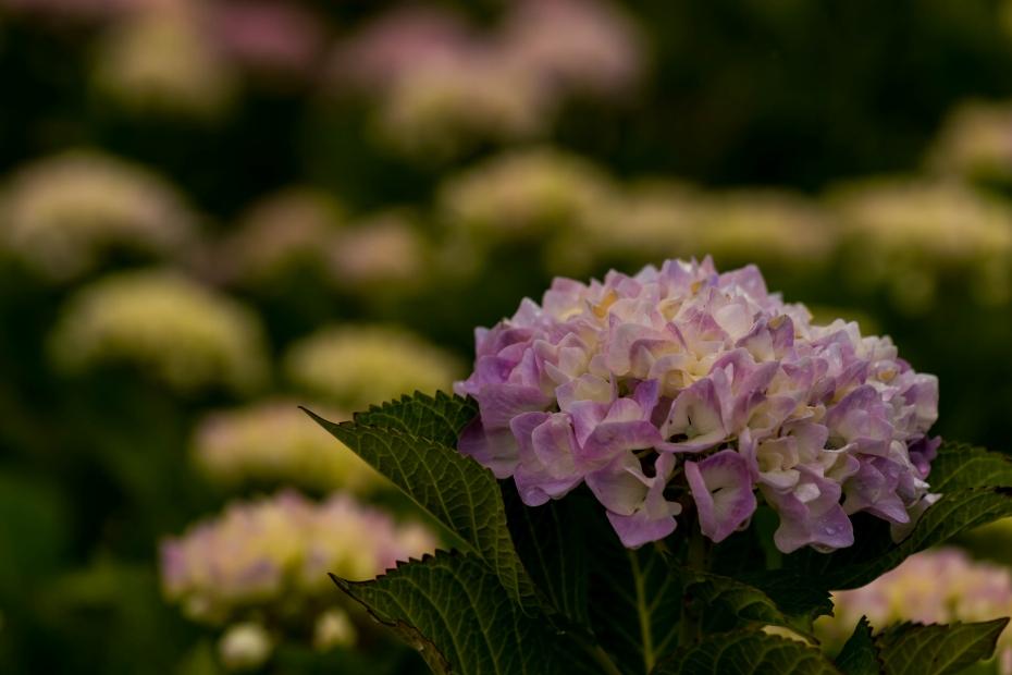 2015.06.09大乗寺丘陵公園のアジサイ9