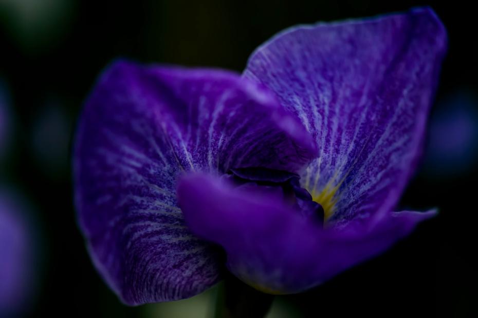 2015.06.09卯辰山の花菖蒲10