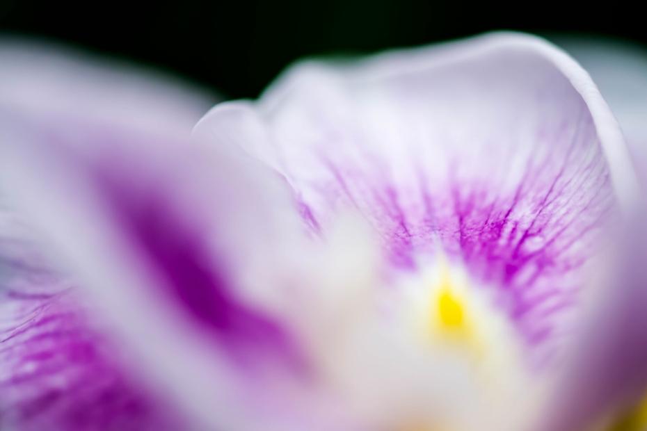 2015.06.09卯辰山の花菖蒲9