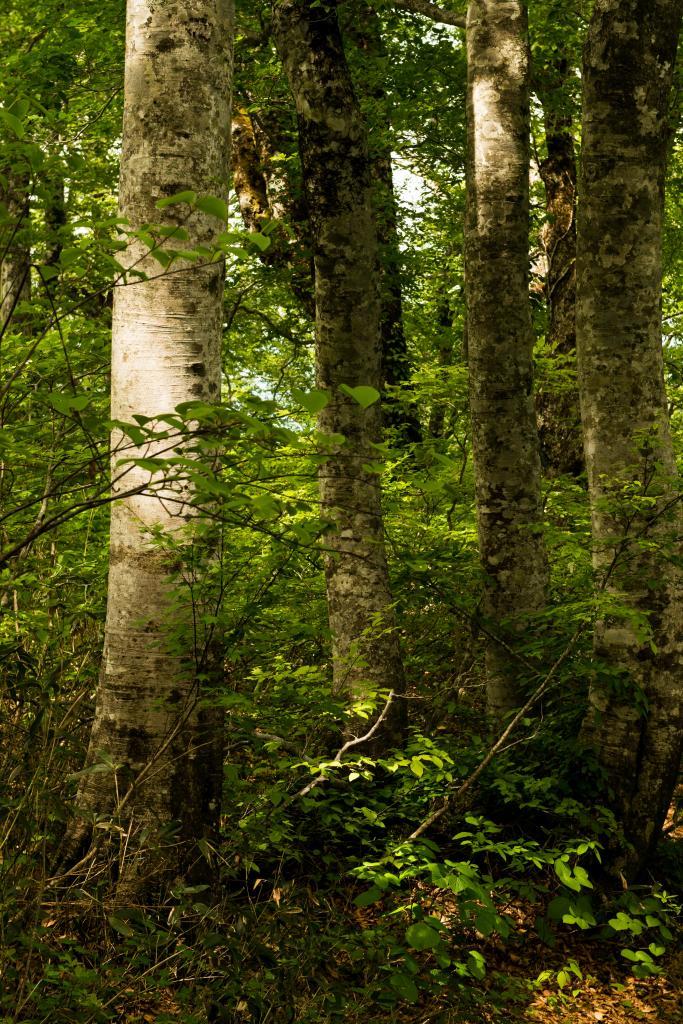 2015.06.11チブリ尾根のブナ原生林と白山眺望21