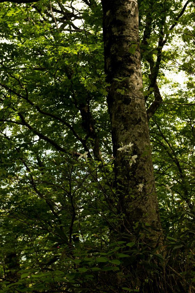 2015.06.11チブリ尾根のブナ原生林と白山眺望20