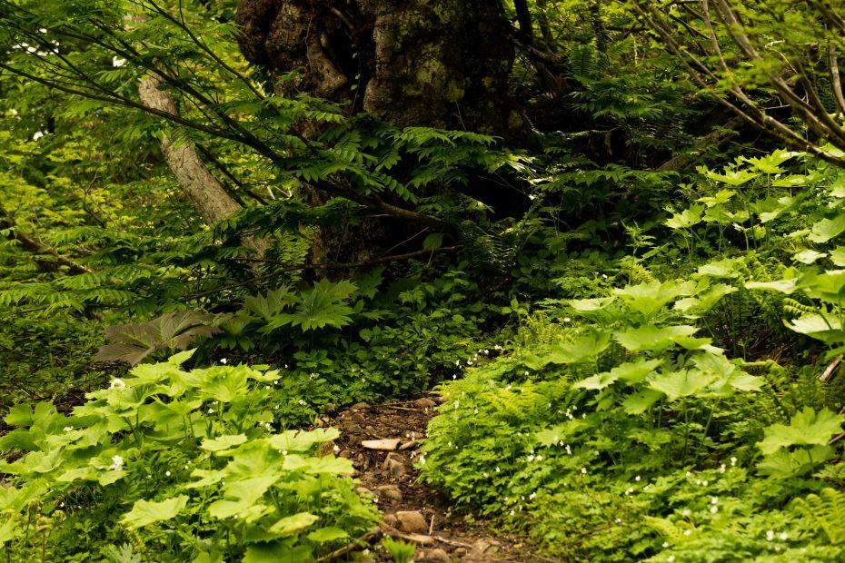 2015.06.11チブリ尾根のブナ原生林と白山眺望14.ニリンソウ
