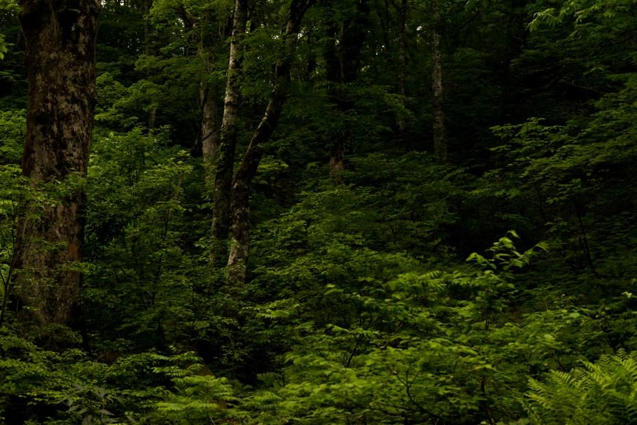 2015.06.11チブリ尾根のブナ原生林と白山眺望11