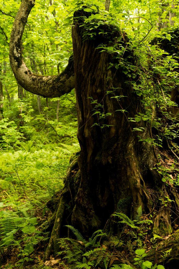 2015.06.11チブリ尾根のブナ原生林と白山眺望10