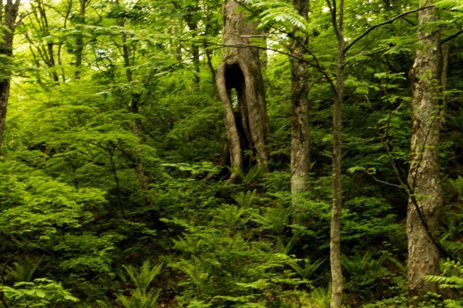 2015.06.11チブリ尾根のブナ原生林と白山眺望9