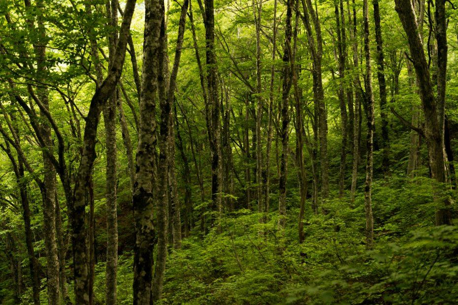 2015.06.11チブリ尾根のブナ原生林と白山眺望8