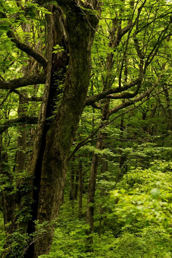 2015.06.11チブリ尾根のブナ原生林と白山眺望3