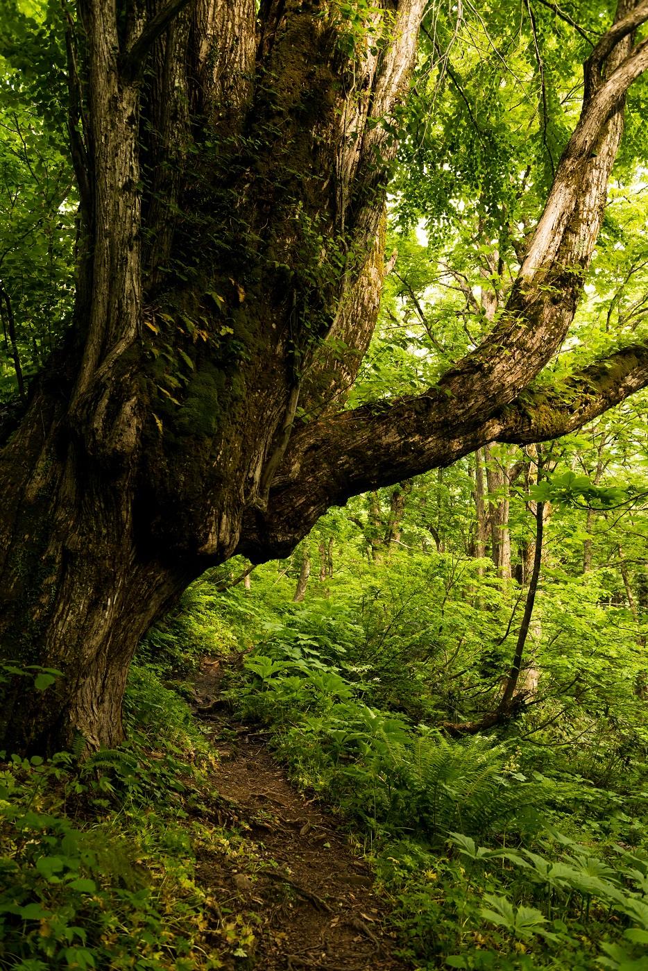 2015.06.11チブリ尾根のブナ原生林と白山眺望2