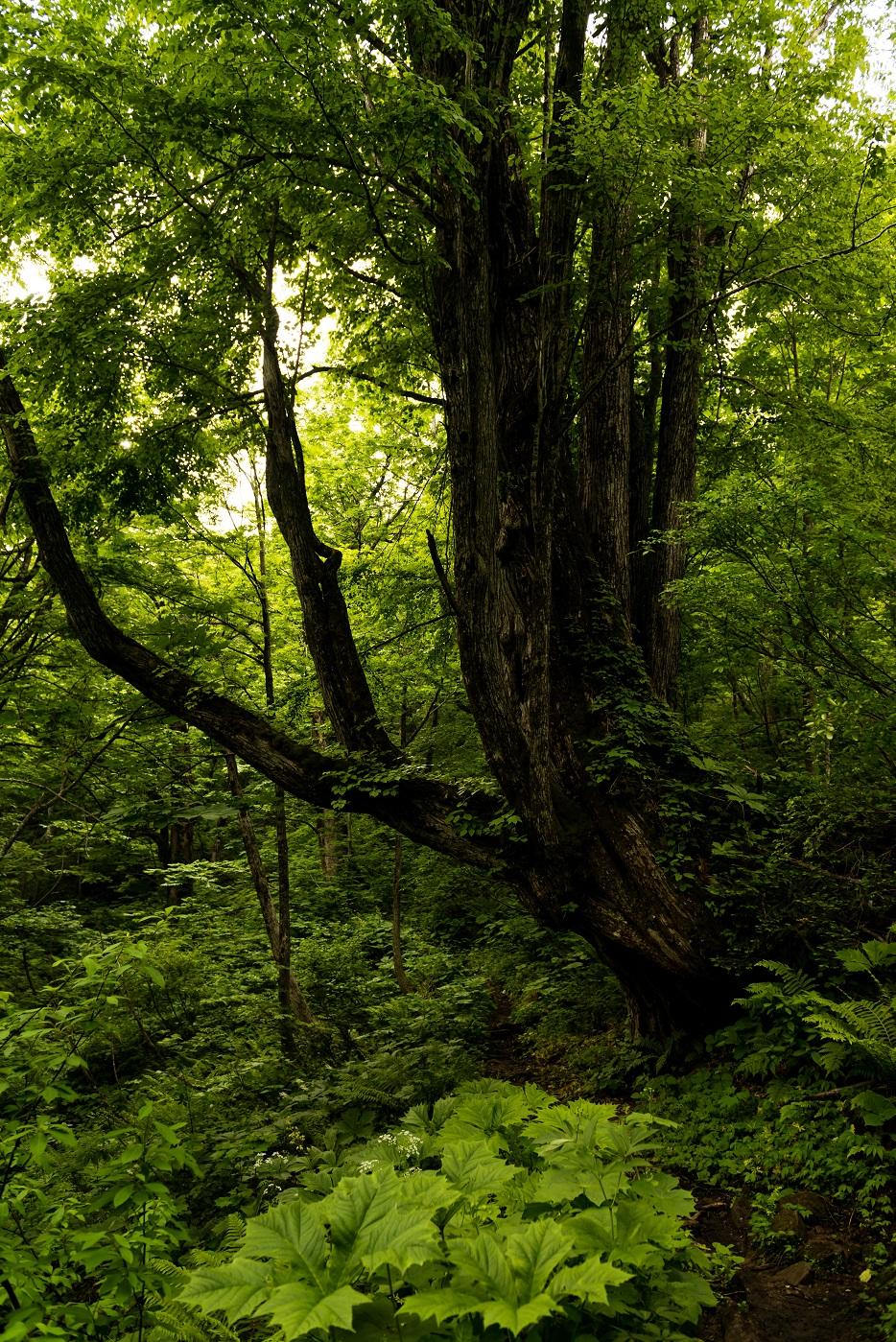 2015.06.11チブリ尾根のブナ原生林と白山眺望1.カツラの巨木