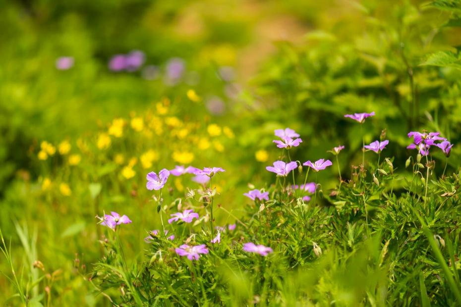 2015.06.13白山高山植物園10.ハクサンフウロ