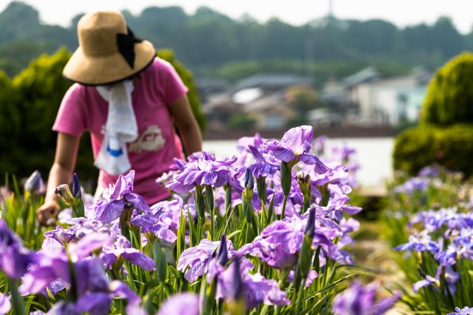 2015.06.15北潟湖畔の花菖蒲10