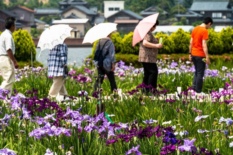 2015.06.15北潟湖畔の花菖蒲8