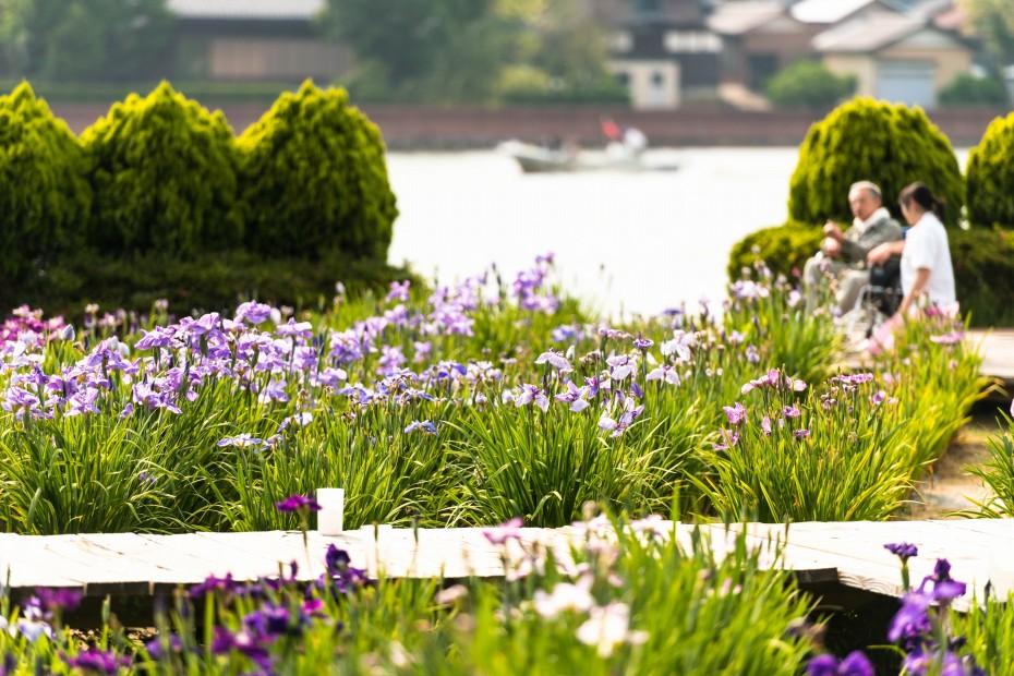 2015.06.15北潟湖畔の花菖蒲9
