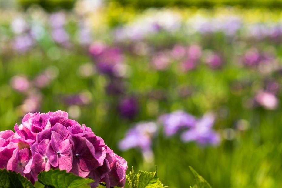 2015.06.15北潟湖畔の花菖蒲6