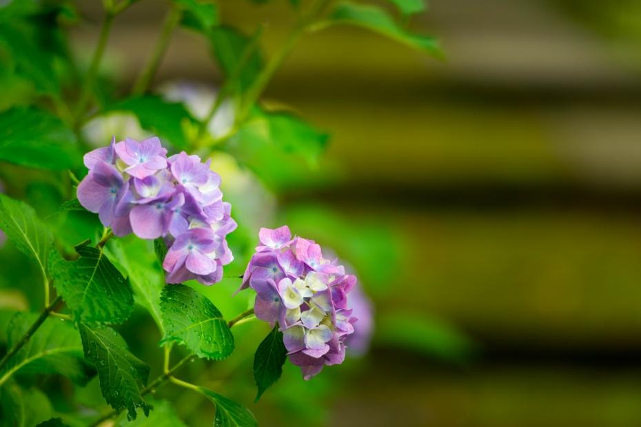 2015.06.20紫陽花10