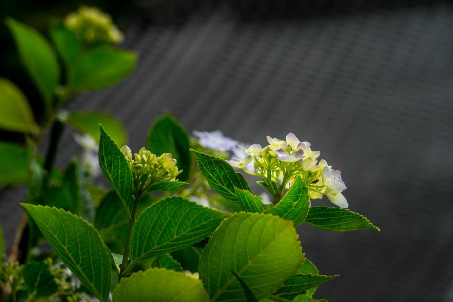 2015.06.20紫陽花9