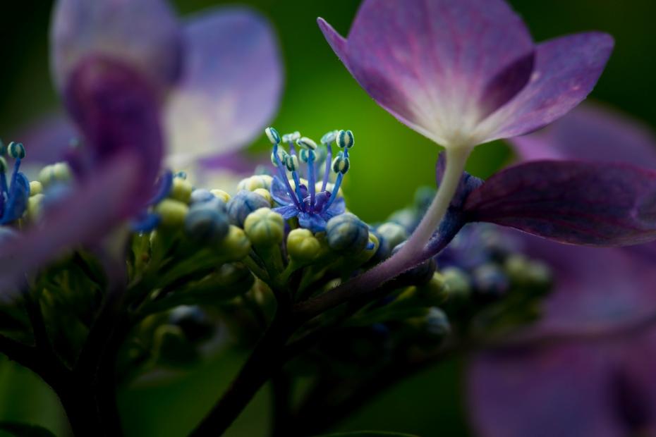 2015.06.20紫陽花8