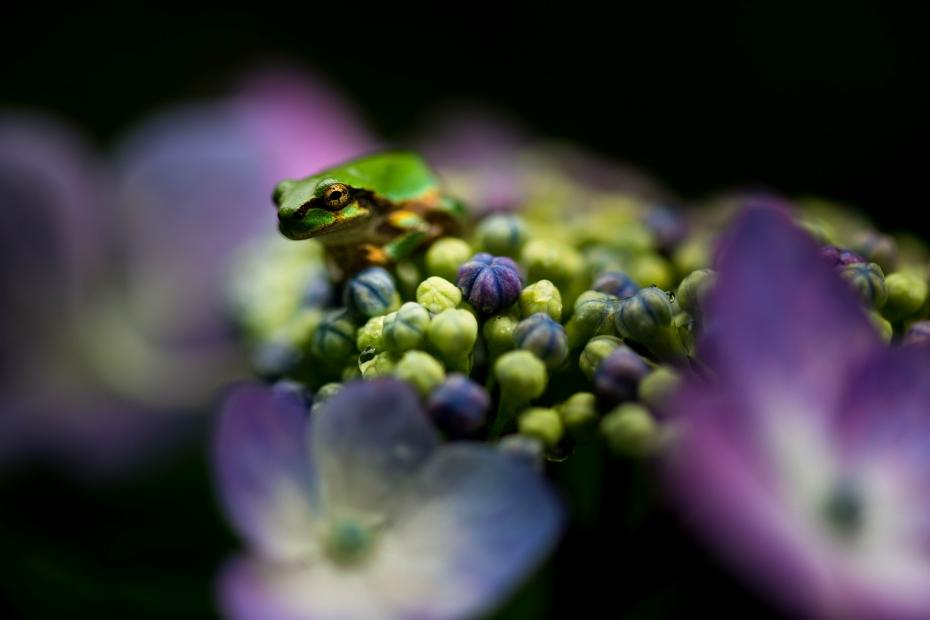 2015.06.20紫陽花6