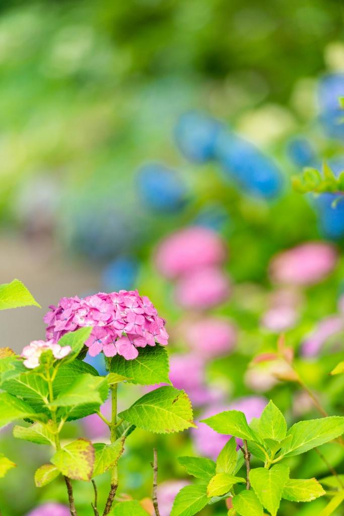 2015.06.20紫陽花2