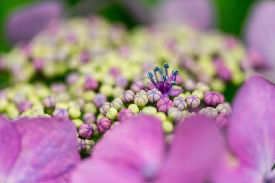 2015.06.20紫陽花3