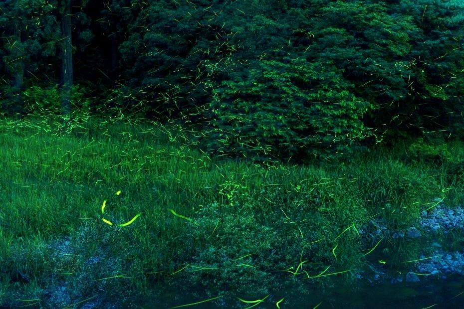 2015.06.22白山市鳥越の蛍
