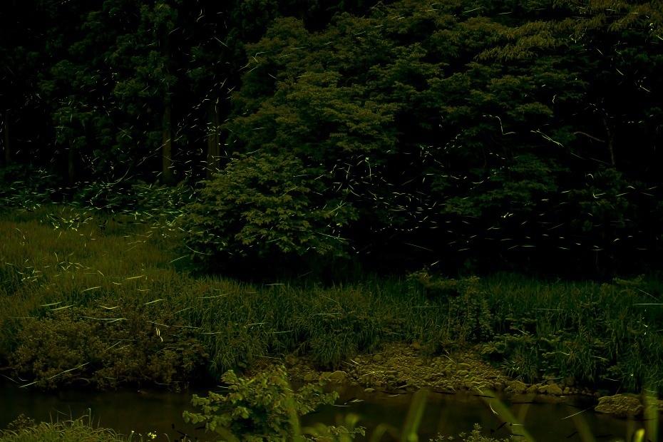 2015.06.25鳥越渡津の蛍4